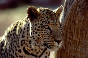 Africat Leopard [1]