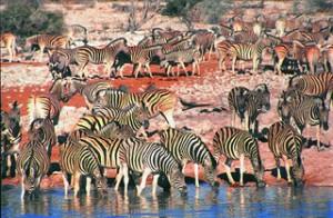 Zebra at Waterhole Etosha