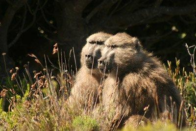Baboons_SA