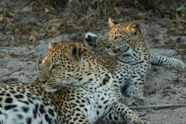 Leopard_cub_ Botswana