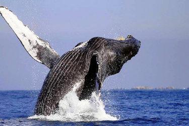 Whale, Sea of Cortez