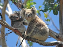 Koalas Australia Travel