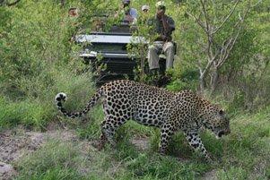 Leopard_SabiSands