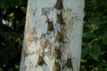 Bats on a tree, Amazon