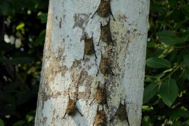 Bats on a tree, Amazon