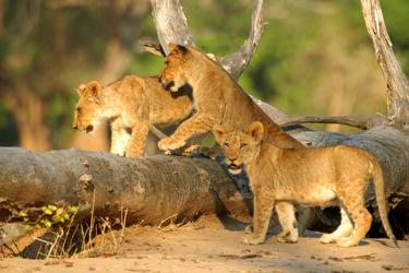 Lion CubsVictoria Falls